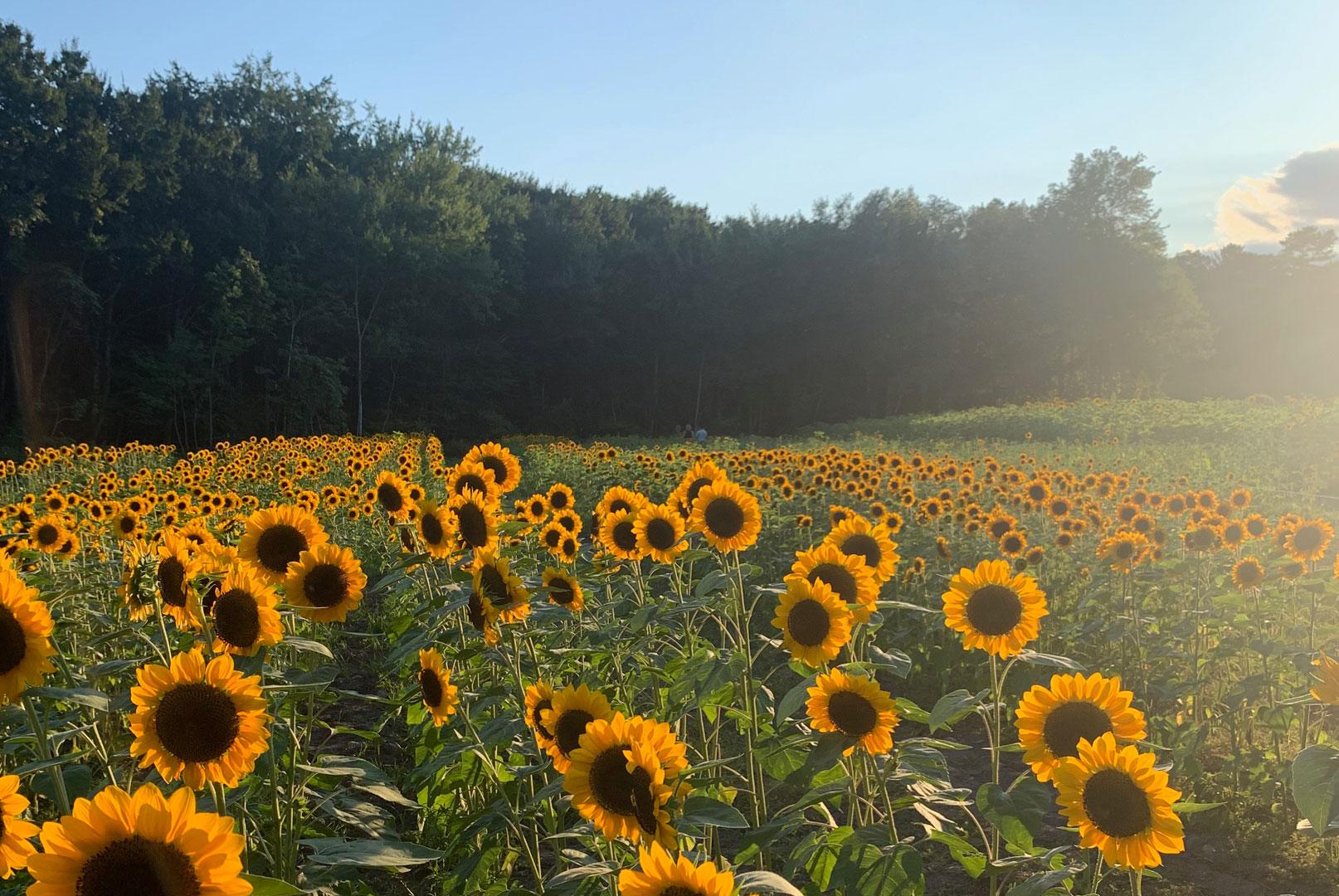 pick-sun-flawer